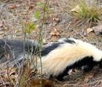 skunk-small